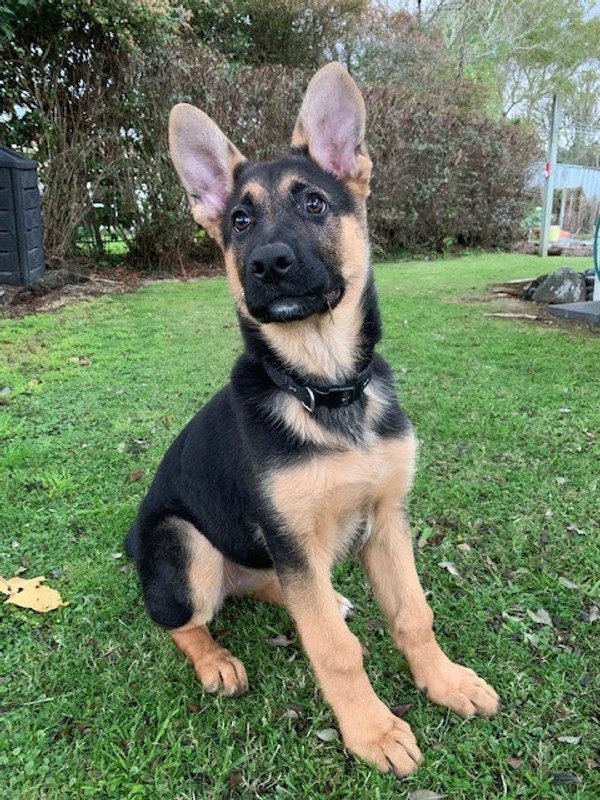 A fussy German Shepherd puppy is now eating well on Mighty Mix