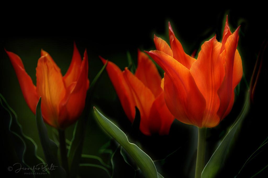 Tulip Trinity