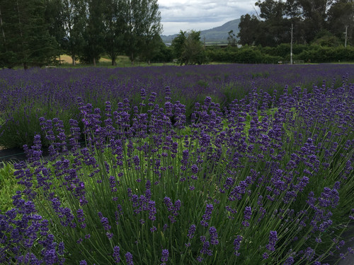 Lavender row today