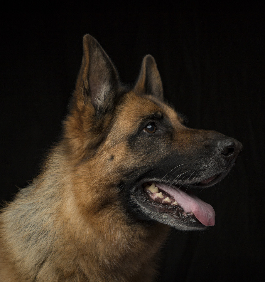 Blaze, our much-missed K9MD Ambassador