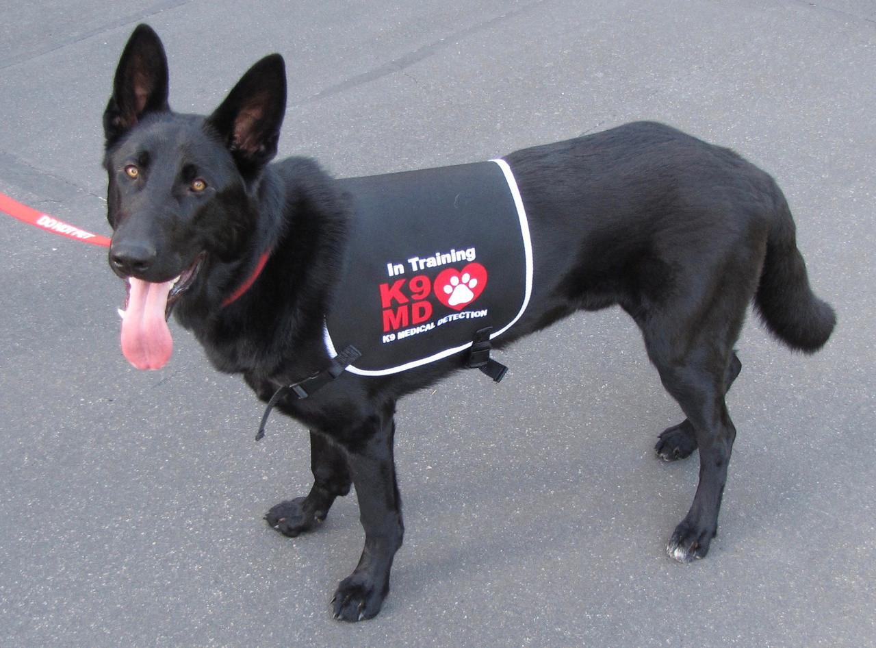 K9 Medical Detection dogs detect cancer