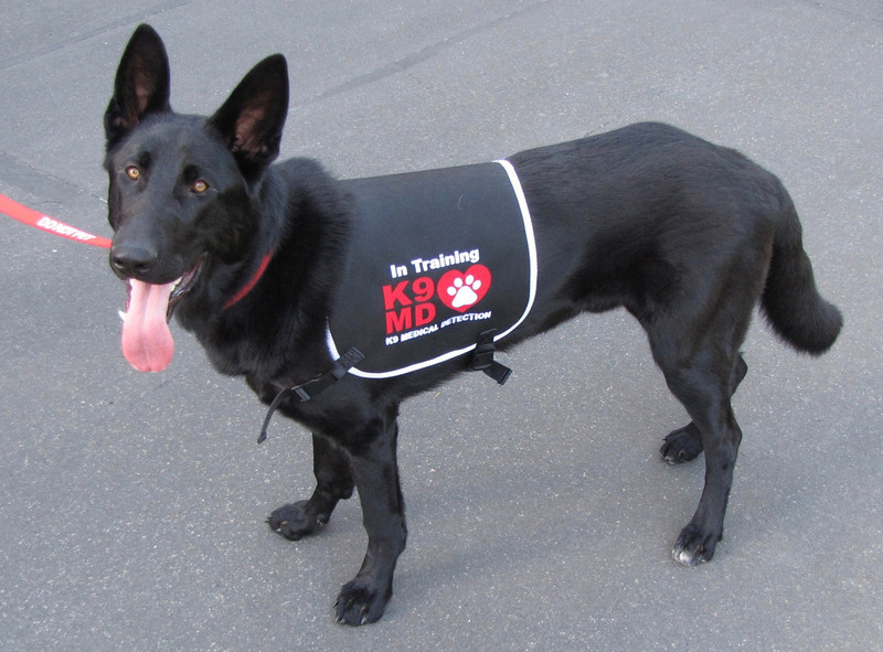 K9 Medical Detection dogs detect cancer