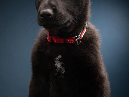 Weta Star von Heisenberg K9MD dog as a gorgeous puppy
