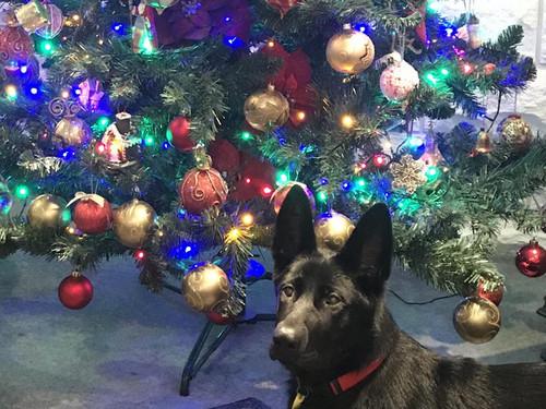 Weta enjoying the Christmas lights