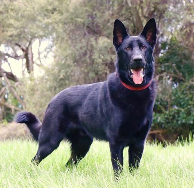 Levi von Heisenberg K9MD dog