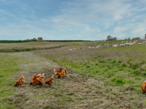 The chickens outside enjoying their fresh pasture with sheep grazing and water pressure powered irrigation