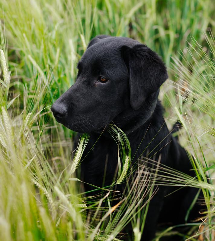 Beau the Labrador