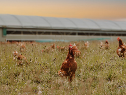 Some of the Bowalley Free Range hens have real personalities