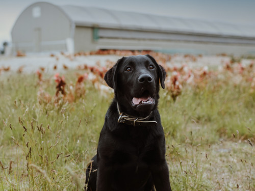 Beau our black Labrador mother hen