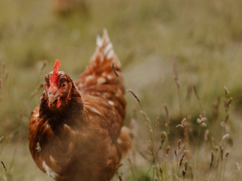 A Bowalley Free Range chicken out exploring
