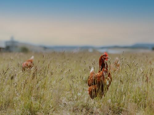 Watch the Bowalley Free Range hens enjoying time outside