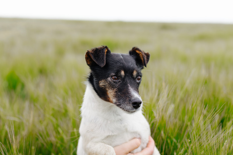 Pearl our Jack Russell terrier