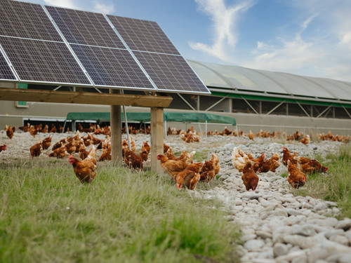 Our chooks love playing around our solar panels that power their shed