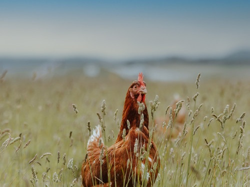 A Bowalley Free Range chicken out exploring on the farm